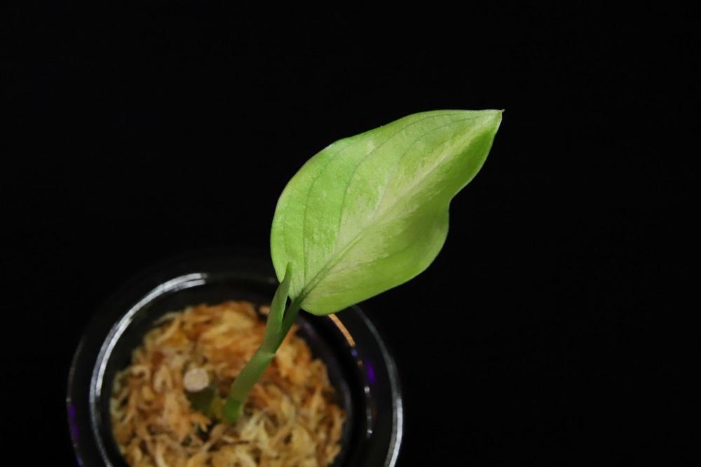 アグラオネマ ピクタム スマトラ[Aglaonema pictum Sumatera]
