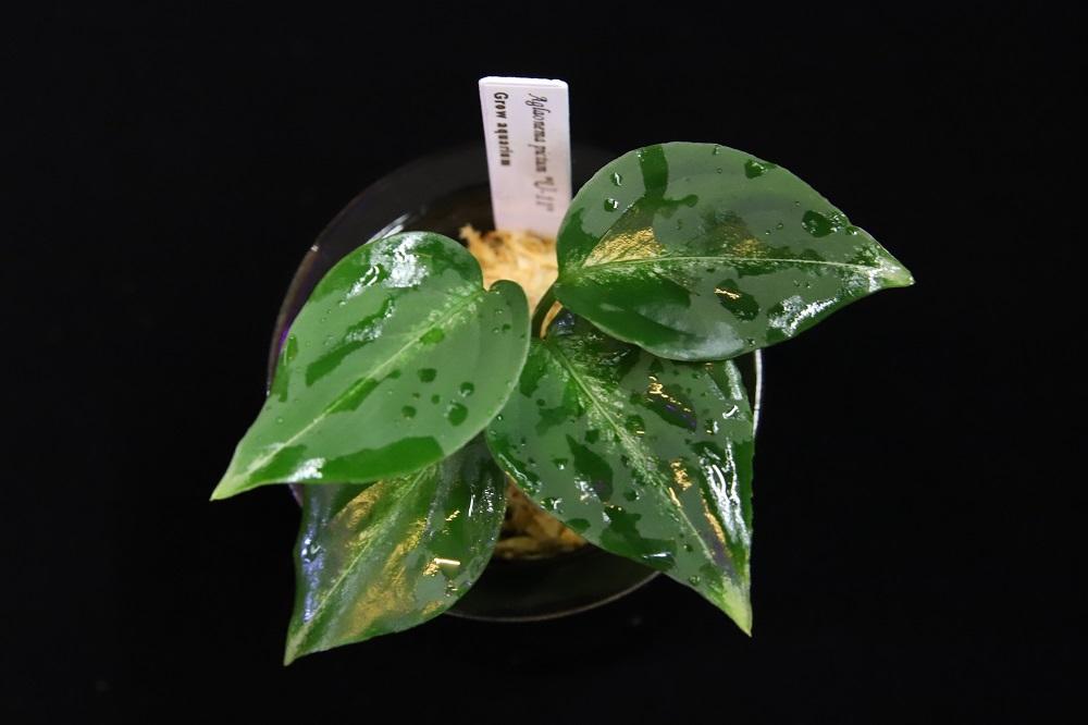 アグラオネマ ピクタム U-11[Aglaonema pictum U-11]
