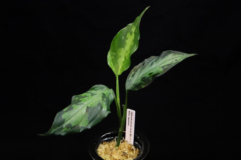 アグラオネマ ピクタム トリカラー西スマトラ[Aglaonema pictum tricolor 西スマトラ]