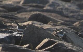 休息中のイソシギ(鵲)