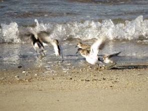 波打ち際で採餌するトウネンの群れ(左から鵲・源・田・位)