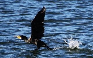 海面から飛出すカワウ(鵲)