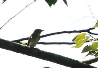 コサメビタキ(左/源 右/鵲 )