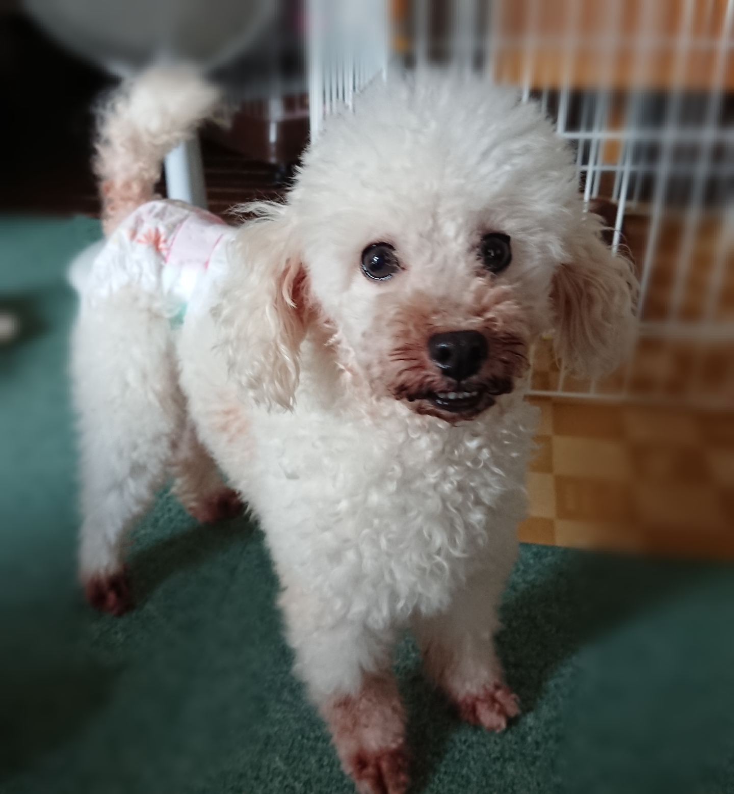 保護 犬 トイ プードル