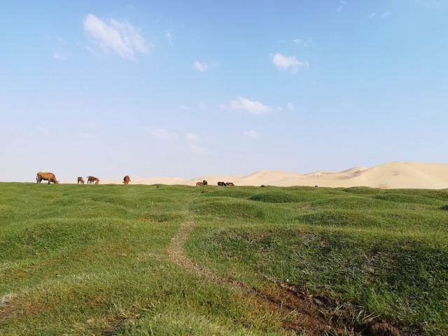 砂漠を背に牛達