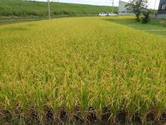 3稲の成育