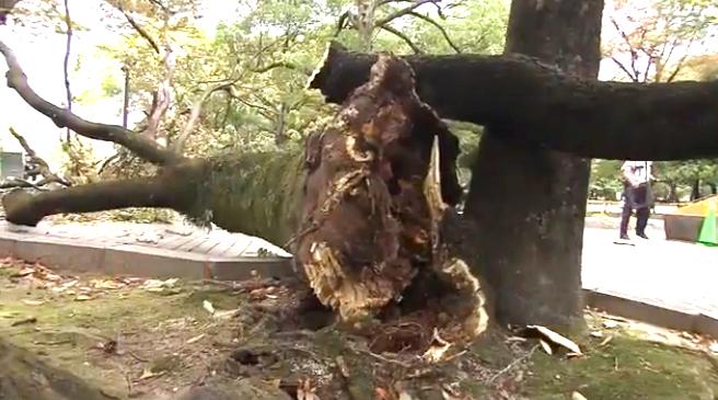 平和記念公園 大木倒れる