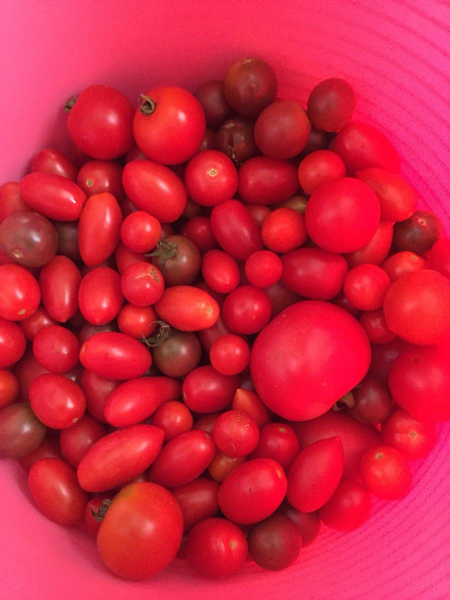 おっととトマト収穫