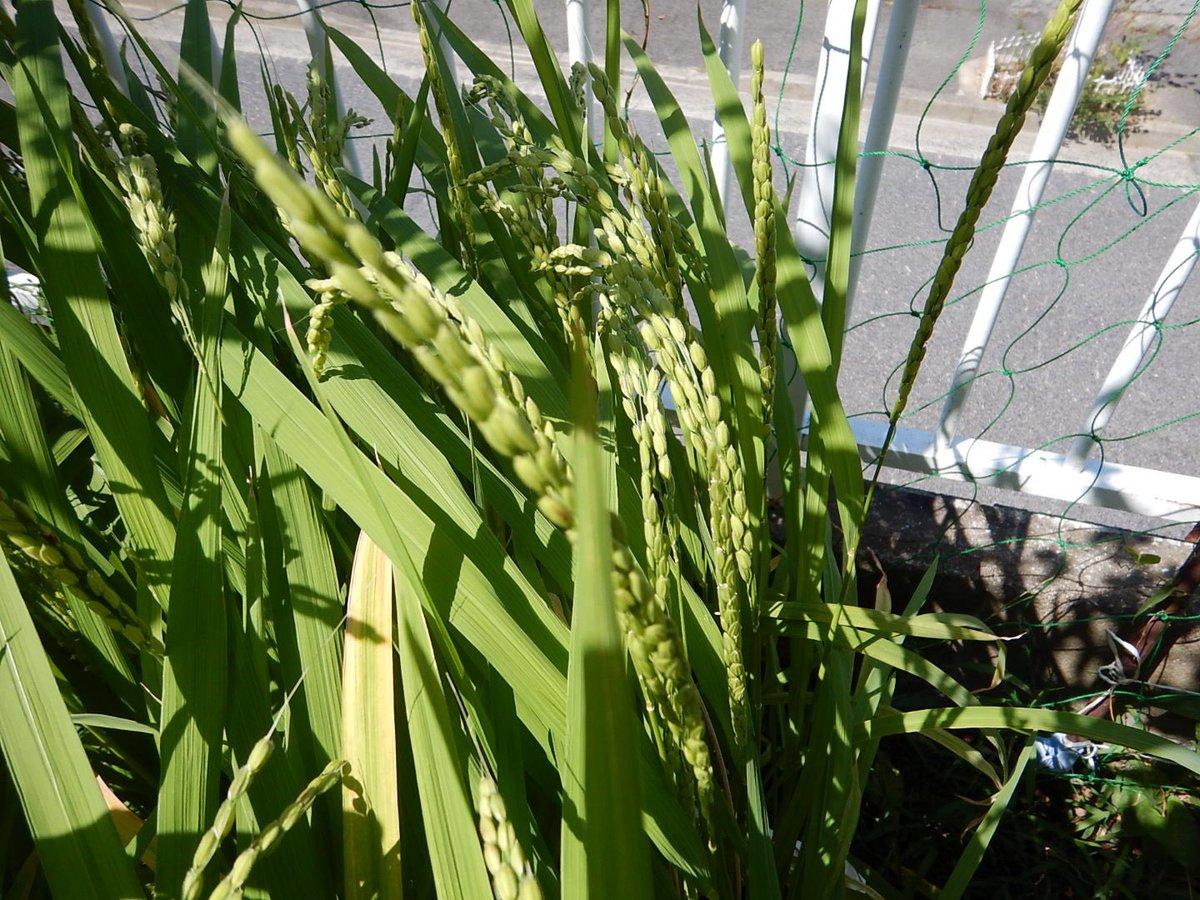 玄米に固まってきた稲