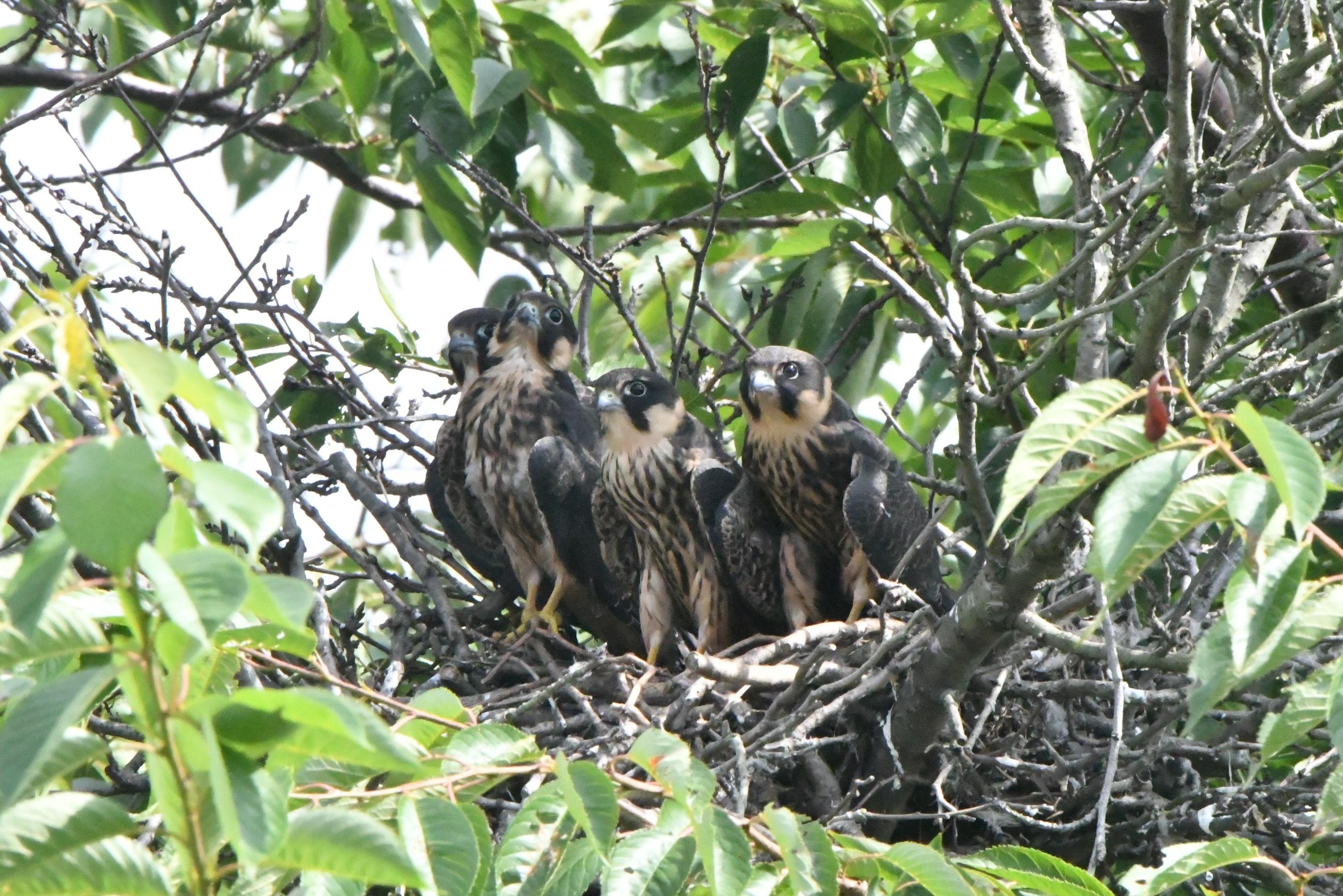 チゴハヤブサ 巣立ち間近雛4羽