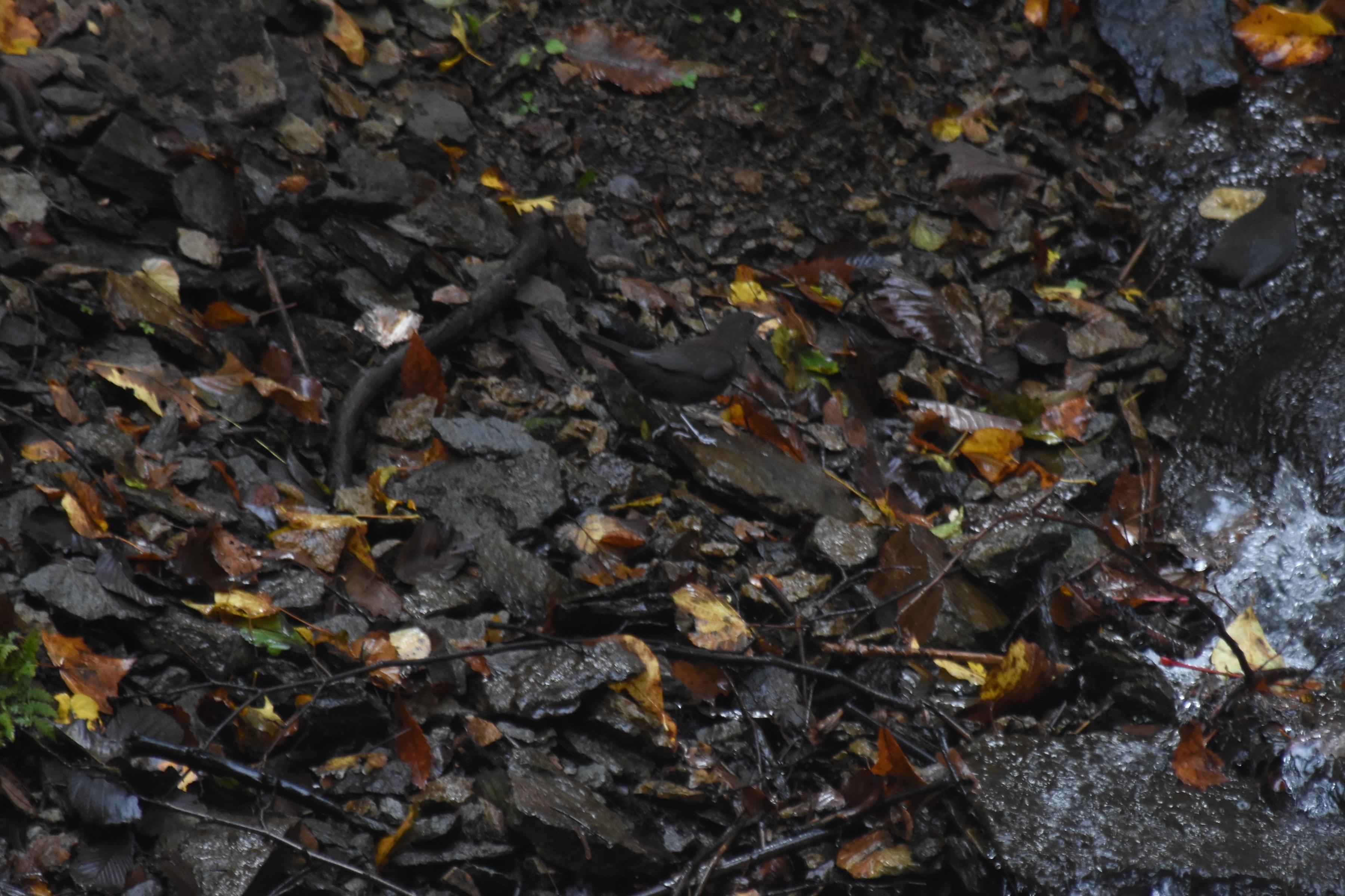 秋のカワガラス2