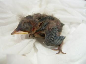 巣から落ちた雛