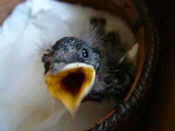 燕のヒナは食欲旺盛!