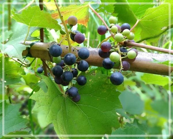 庭のヤマブドウ