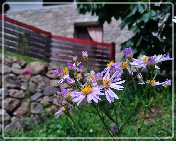 石積みの家の前に咲くシオン