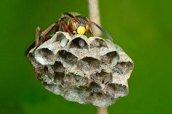 足長蜂の巣