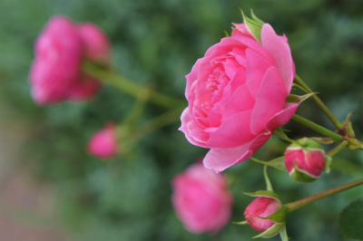 2018年9月薔薇2