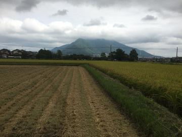 稲刈りニンニク植え3
