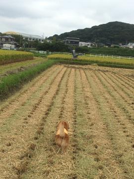 稲刈りニンニク植え5