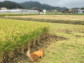 稲刈りニンニク植え8