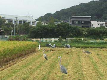稲刈りニンニク植え9