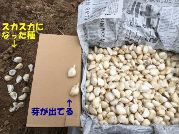 稲刈りニンニク植え11