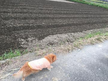 田んぼにじゃが芋用畝5