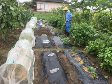 白菜など3畝植え
