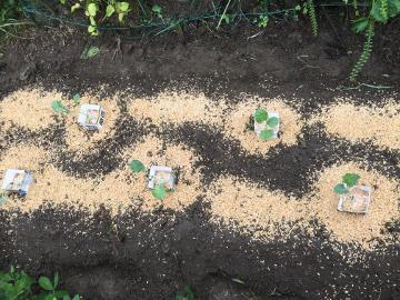 白菜など3畝植え3
