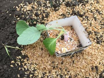 白菜など3畝植え4