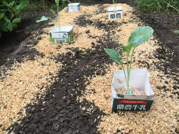 白菜など3畝植え5