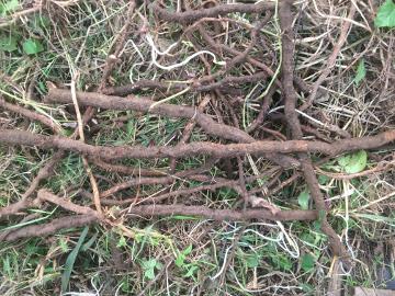 ヤブカラシの根が凄い9