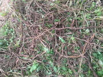 ヤブカラシの根が凄い10