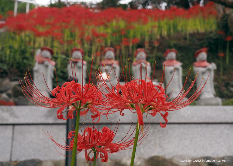 梅林寺のヒガンバナが見頃です! [平成30年9月22日(土)更新]2