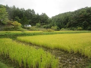 田んぼの稲刈り準備