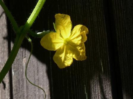 キュウリ の花