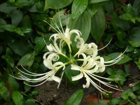 庭の白花曼珠沙華 3