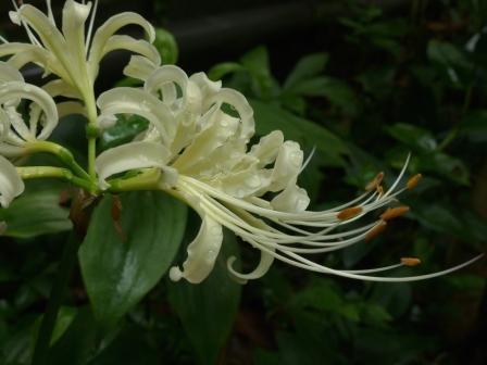 庭の白花曼珠沙華 4
