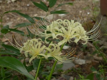 庭の白花曼珠沙華 7