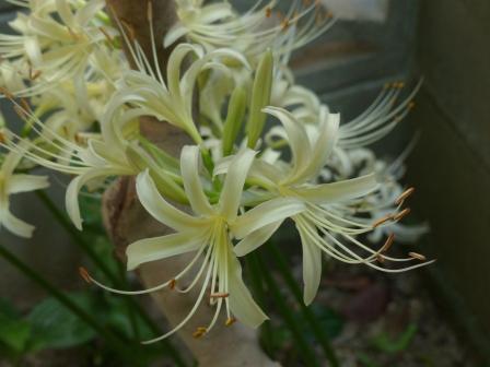 庭の白花曼珠沙華 10