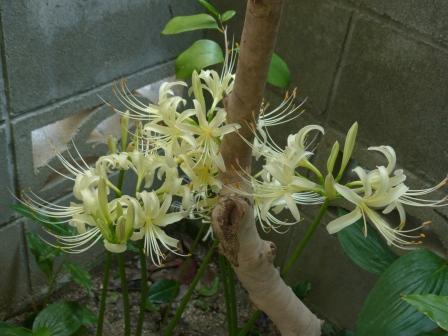 庭の白花曼珠沙華 9