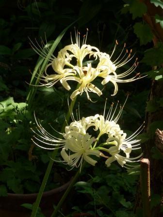 庭の白花曼珠沙華 8