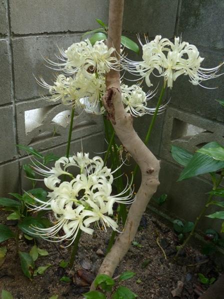 庭の白花曼珠沙華 11