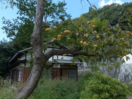 一草庵 と 柿 1
