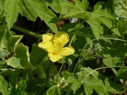 ウリ科の花