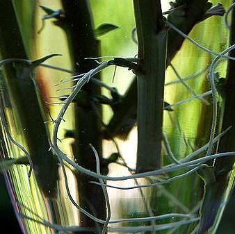 ミソハギの挿し木