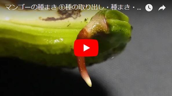 マンゴーの種まき動画