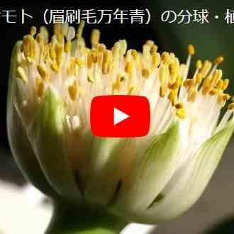 マユハケ植え替え動画