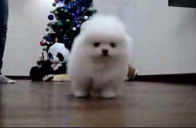 White puppy Pomeranianwwwelitdogcom Белый щенок померанского шпица