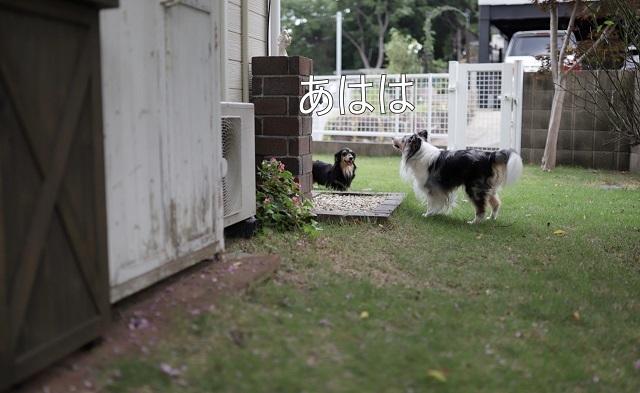 家庭犬の夏